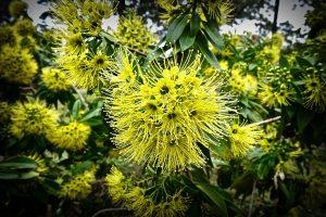 Australia's national flower